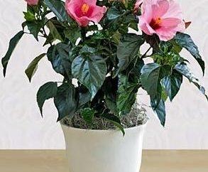 Hibiscus. Soins et élevage