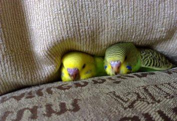 Zdajemy sobie sprawę, ilu mieszka papużka falista w domu