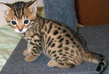 Kociak bengalski: nabycie najlepszego przyjaciela