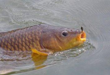 Pesca: la carpa. Lo que coger el trofeo codiciado?
