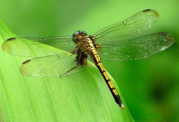 Najszybsze na świecie owadów