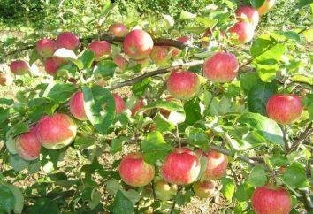 """Apple Tree """"Natal"""": descrição, fotos, comentários, características de cultivo e cuidados"""