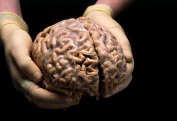 Le cerveau humain: la structure