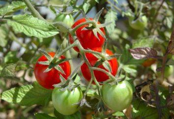 Dlaczego poskręcane liście pomidorów: główne powody