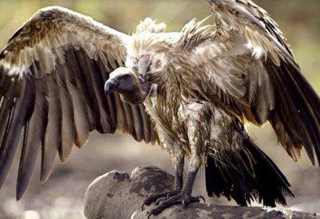 Uccello Avvoltoio: descrizione e foto