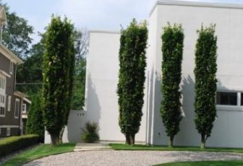 Kolumnowych drzew: odmiany, zwłaszcza opieki i opinie. Kolumnowych drzewami owocowymi. Kolumnowych drzew owocowych
