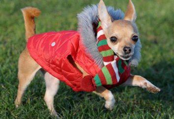 Chihuahua: opinie. Chihuahua – pielęgnacja. Psy rasy Chihuahua