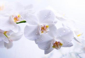Homeland stanza orchidea. Composizione del suolo per le orchidee