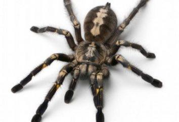 Zastanawiam się, co marzy o wielkich czarnych pająków? Kopać w pamięci