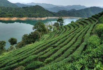 """Chá, """"Puer Sheng"""": propriedades e sabor único. """"Shen Pu-Erh"""" e """"Shu Puer"""": diferenças"""