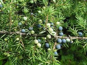 Kozak jałowca: sadzenia i pielęgnacji roślin