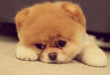 Wen u psa: zdjęcie, przyczyny, leczenie