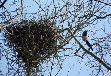 Elstern Nest. Wie eine Elster Nest zu bauen?