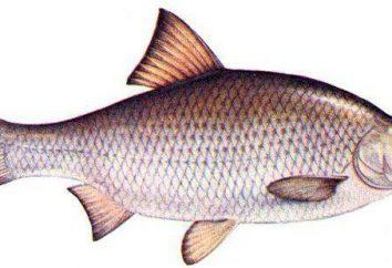 Ryba płoć: opis, charakterystyka, wartość odżywcza i opinie
