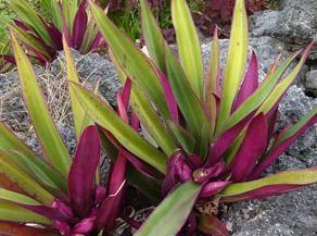 Kwiat reo: Photo i pielęgnacja