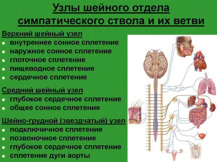 Sympathische Stamm: Struktur und Funktion