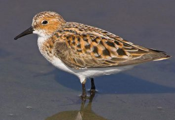 Kulik (oiseau): description, l'habitat, la nourriture