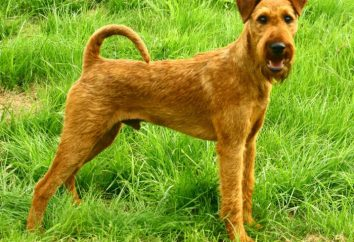 Terier irlandzki. Irish soft coated wheaten terrier