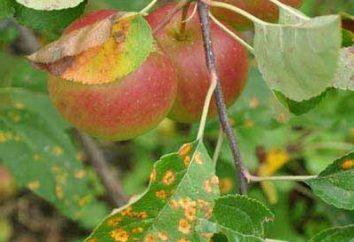 ¿Qué pasa si se manifiesta en las hojas de la roya de la manzana?