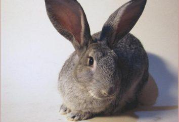 Chinchilla coniglio: descrizione della razza, il contenuto, la diluizione
