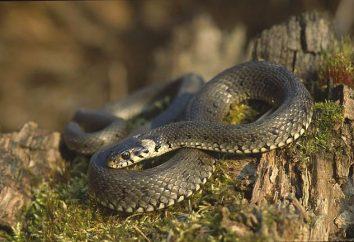Oh – il serpente, che si trova vicino all'acqua