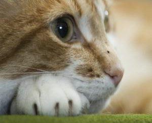 Jak długo ruja u kotów i psów?