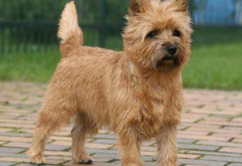 Cairn Terrier: opis rasy, zdjęcia