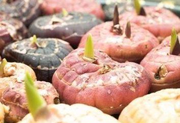Comment économiser glaïeul en bonne santé jusqu'au printemps