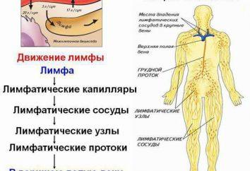 Linfa – che cos'è? Qual è il suo significato nel corpo umano?
