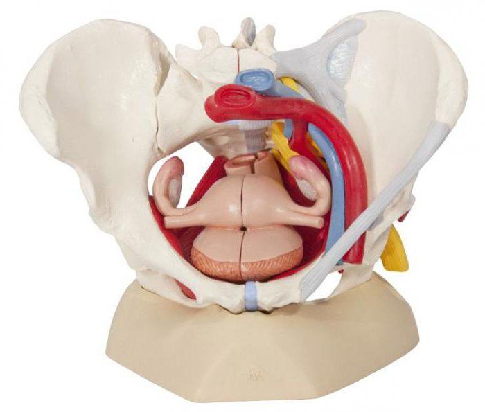 pelvis femenina: anatomía, estructura. Resonancia magnética de los ...