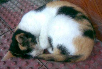 Gatos de três cores – animais de estimação que trazem felicidade para a casa