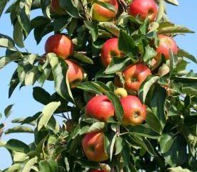 """Apple tree """"Zhigulevskoe"""" – una buona varietà tardiva"""