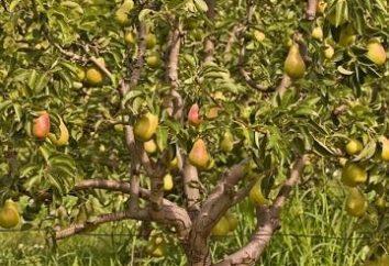 Poda da árvore de pera outono como uma maneira de aumentar os rendimentos