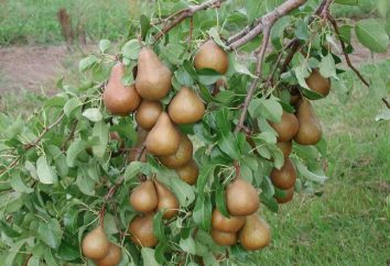 Die besten Birnensorten in Belarus: Überprüfung, Agrotechnik, Zonierung