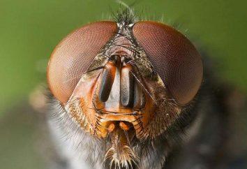 Wie kann ich eine Fliege im Haus töten?