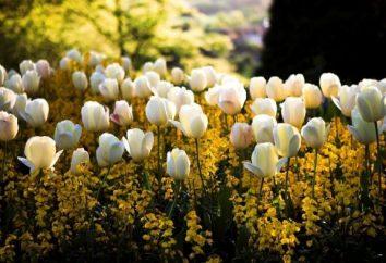 Quando tulipani trapiantati: caratteristiche di cura