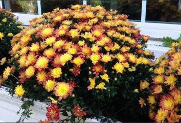 crisantemos cultivo en exterior: recomendaciones
