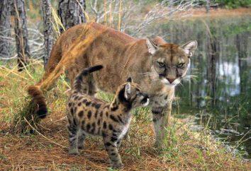 Habitado por un puma en la naturaleza?
