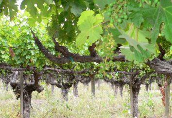 Vines. Come piantare una vigna? Come è il vitigno?