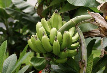 Banana żołądka: Zakazany owoc czy medycyna?