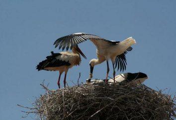 nid de cigogne. Où et comment construire leurs nids de cigognes?