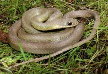 Snake – wąż nonpoisonous