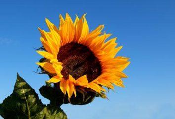 Kalorii, korzyści i szkody słonecznika chałwy