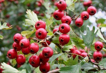 sanguinea Crataegus: variedades eo uso