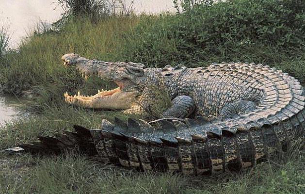 Ein riesiges Krokodil. Das größte Krokodil der Welt