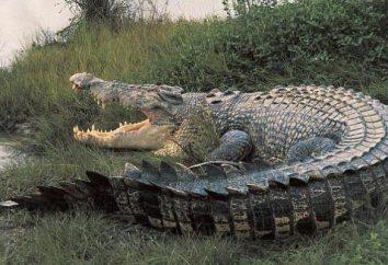 Um crocodilo gigante. O maior crocodilo do mundo