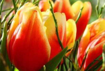 Comment planter correctement tulipe: Recommandations
