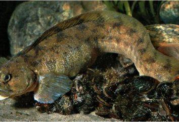 peces eelpout: propiedades útiles, especialmente la cocina, las mejores recetas y comentarios
