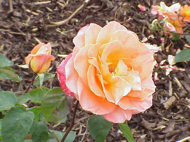 planter une rose sans racine