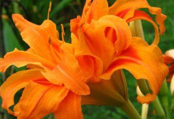 Umpflanzen Taglilien. Pflanzung und Pflege im offenen Feld